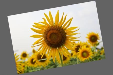 sun flower Stock Photo - 16875690