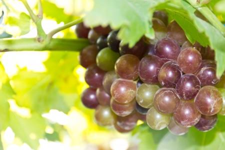grape fruit Stock Photo - 16977256