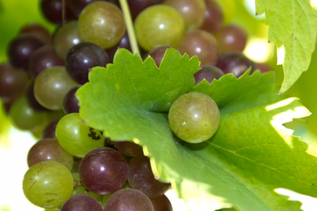 fruit green grape Stock Photo