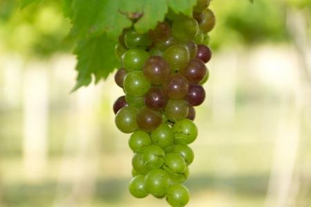 fruit green grape Stock Photo - 16977247