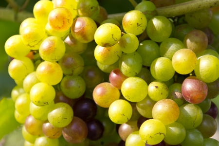 grape fruit Stock Photo - 16977271