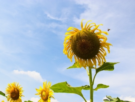 sun flower Stock Photo - 17005235