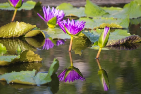PURPLE LOTUS IN THE CANAL Stock Photo