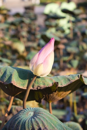 PINK LOTUS IN THE CANAL Stock Photo