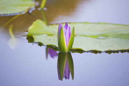 PURPLE  LOTUS IN THE CANAL