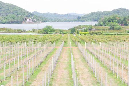 A shady vineyards