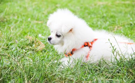 cute little white puppy