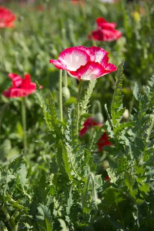 Beautiful opium flower in the garden