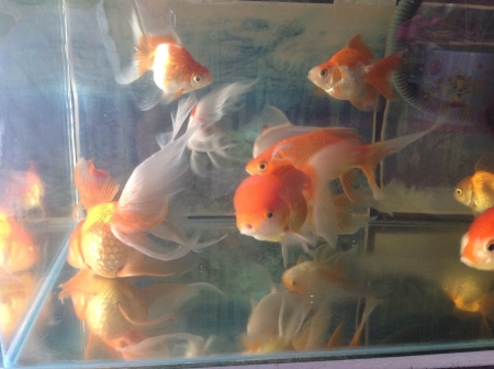 otganimalpets01: My gold fish