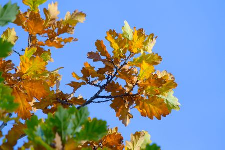 Yellow-red oak leaves against the cloudless sky