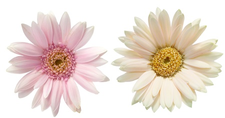daisy flower: Gerbera Stock Photo