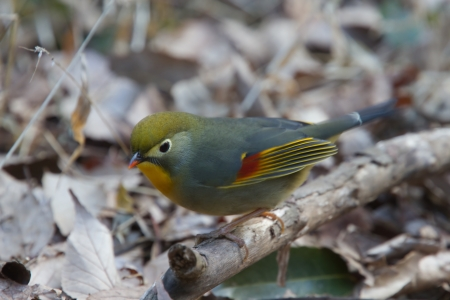 red billed leiothrix: Red-billed leiothrix