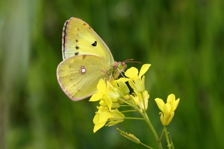 Eastern Pale Clouded Yellow photo