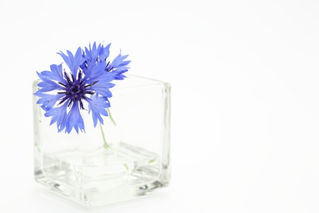 Purple Cornflower in glass vase photo