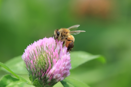 red clover: A bee on a red clover Stock Photo