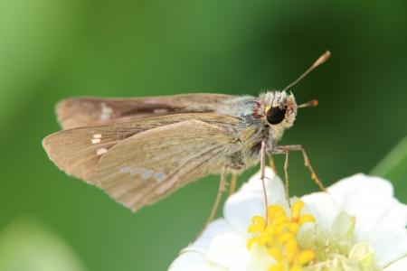 skipper: Skipper on a white flower Stock Photo