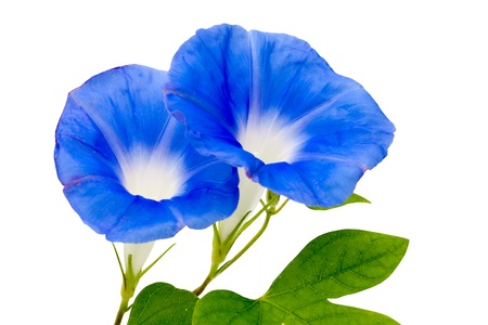 Blue morning-glory in a white background Stock Photo