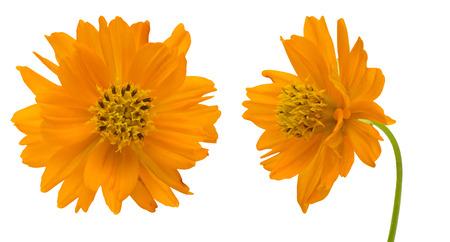 白地にオレンジのコスモス