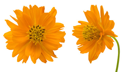 Orange cosmos in a white background photo