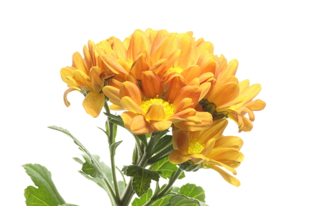 sho: Chrysanthemum in a white background