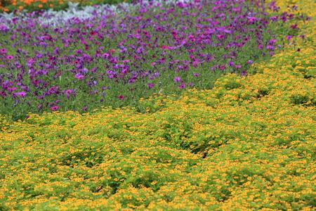 ゴールドメダリオン花とペチュニアの花壇