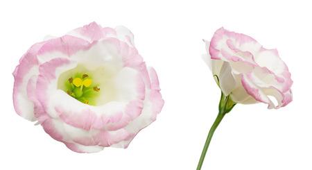 Eustoma의 꽃 머리 스톡 콘텐츠