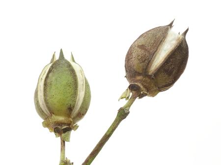 cotton crop: Crop of cotton
