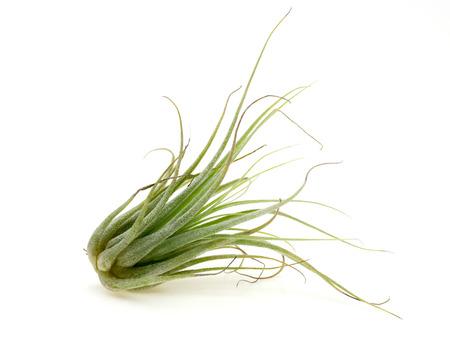 白い背景の空気植物