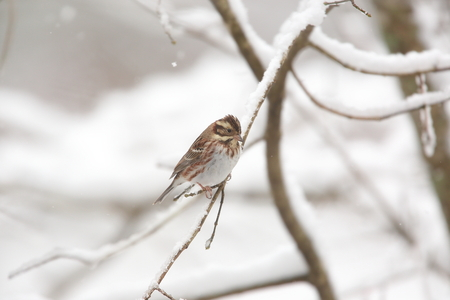 Rustic bunting on the tree of branch