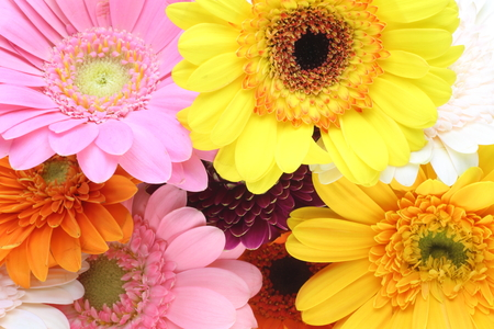 pictured: Closeup pictured of Transvaal daisies