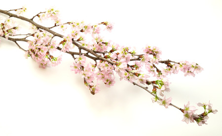 Branch of cherry tree in a white background 版權商用圖片