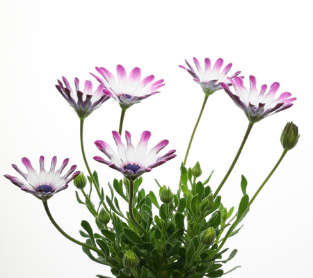 african daisy: African daisy in a white background