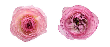 buttercup: Flower head of persian buttercup