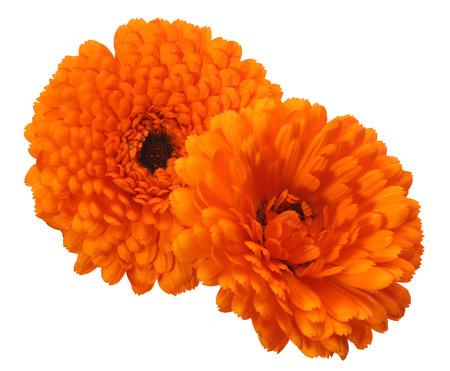 pot marigold: Flower head of pot marigold