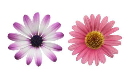 flor morada: cabeza de la flor de la margarita y margarita africana Foto de archivo
