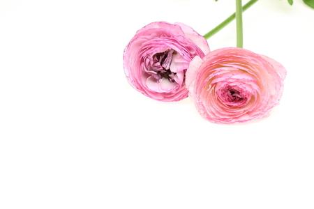 buttercup persian: Ranuncolo persiano