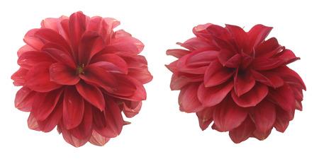 Flower head of Dahlia Stok Fotoğraf