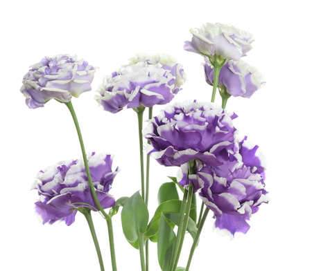 gentian flower: Eustoma