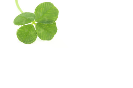 four leaf: Four leaf clover