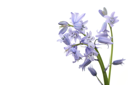 English  bluebell Stock Photo