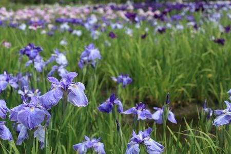 irises: Japanese irises