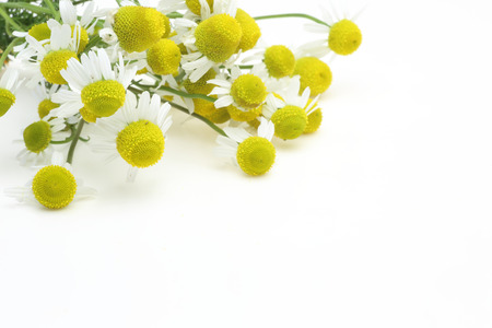 german chamomile: Bouquet of of chamomile Stock Photo