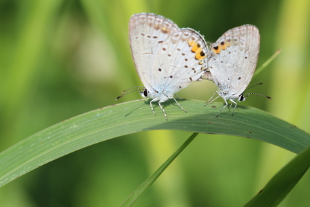 lycaenidae: Mating of the Lycaenidae