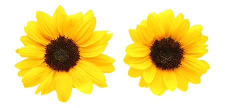 ヒマワリの花の頭
