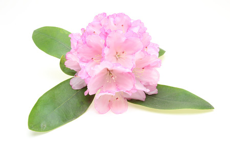 rhododendron: Flower head of rhododendron with leaf Stock Photo