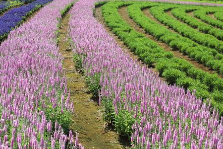 speedwell: Flower garden of speedwell