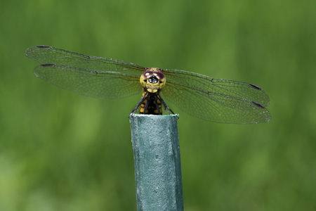 skimmer: Common skimmer on a pole