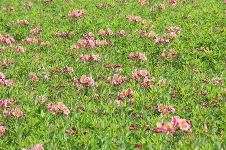 alstroemeria: Flower garden of alstroemeria