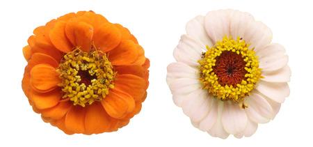 zinnia: Flower head of zinnia