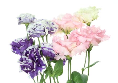 gentian flower: Eustoma